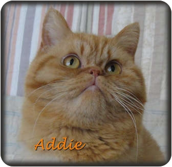 Persian Cat for adoption in Beverly Hills, California - Addie