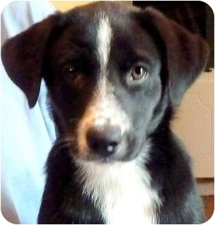 Labrador Retriever Mix Puppy for adoption in Wakefield, Rhode Island - SOCKS in MS
