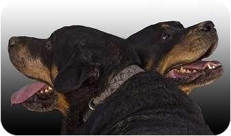 Rottweiler Dog for adoption in Las Vegas, Nevada - Bear / Bella