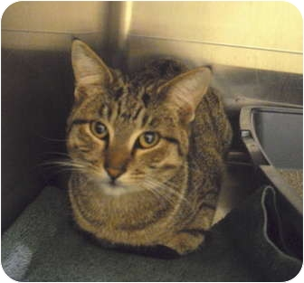 Domestic Shorthair Cat for adoption in Wickenburg, Arizona - Noah