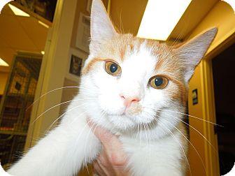 Domestic Shorthair Cat for adoption in Medina, Ohio - Bootstrap Bill