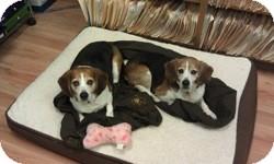 Beagle Dog for adoption in Minnetonka, Minnesota - Strider