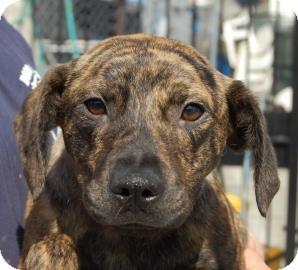 Labrador Retriever Mix Puppy for adoption in Brooklyn, New York - Guy