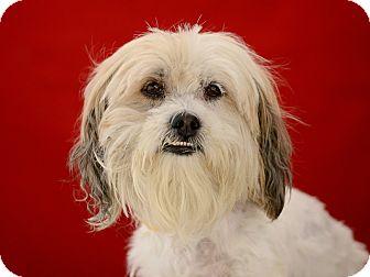Tibetan Terrier Mix Dog for adoption in Los Angeles, California - Corduroy