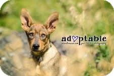 German Shepherd Dog Mix Puppy for adoption in Okotoks, Alberta - Tarzan