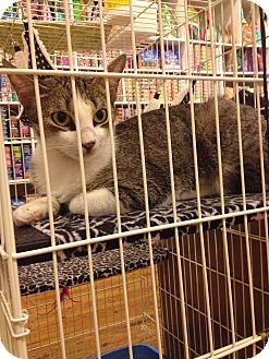 Domestic Shorthair Cat for adoption in Brooklyn, New York - Muffin