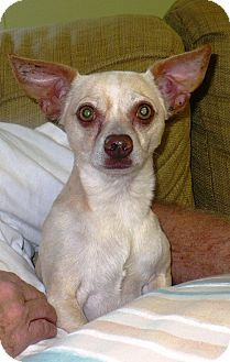 Chihuahua Mix Dog for adoption in Eastpoint, Florida - Willie