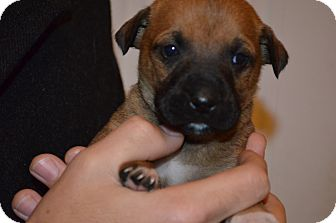 Shepherd (Unknown Type) Mix Puppy for adoption in Westminster, Colorado - Ted