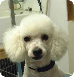 Toy Poodle Dog for adoption in San Diego (all areas), California - Tyler-I'VE BEEN ADOPTED!!!