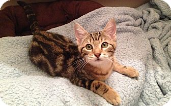 Domestic Shorthair Kitten for adoption in Plano, Texas - LLEWYN - SWIRLED TABBY CUTIE!!
