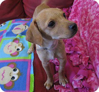 Beagle/Chihuahua Mix Puppy for adoption in Tumwater, Washington - Jackson