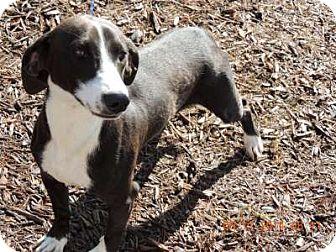 Dachshund Mix Dog for adoption in Newberry, South Carolina - Rockey