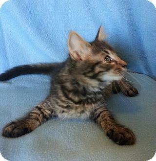 Domestic Mediumhair Kitten for adoption in Centralia, Washington - Agatha