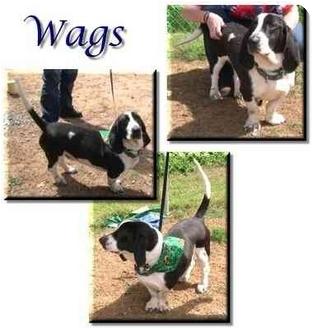 Basset Hound/Pointer Mix Dog for adoption in Marietta, Georgia - Wags