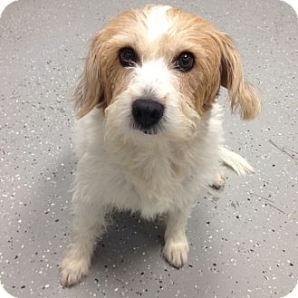 Wirehaired Fox Terrier Mix Dog for adoption in San Leon, Texas - Stella