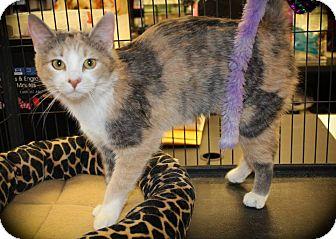 Calico Cat for adoption in Hamilton., Ontario - rose
