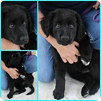 Adopt A Pet :: Goliath - Silsbee, TX