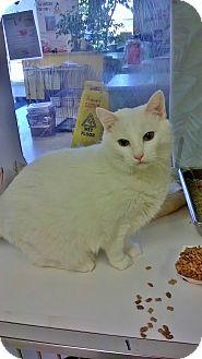 Domestic Mediumhair Cat for adoption in Fort Smith, Arkansas - Sugar