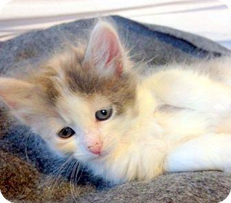 Domestic Longhair Kitten for adoption in San Leandro, California - Opal