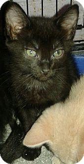 Domestic Shorthair Kitten for adoption in Whittier, California - Trinket