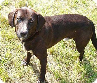 Labrador Retriever Dog for adoption in Ripley, West Virginia - Charlie Brown