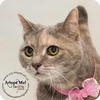 Domestic Shorthair Cat for adoption in Troy, Ohio - Thelma