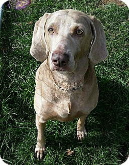 Weimaraner Dog for adoption in Grand Haven, Michigan - Maddie
