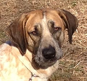 Redtick Coonhound Mix Dog for adoption in Staunton, Virginia - Cisco