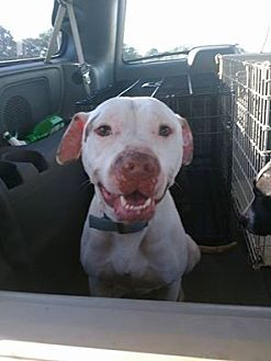 American Staffordshire Terrier/American Pit Bull Terrier Mix Dog for adoption in Covington, Tennessee - Chico