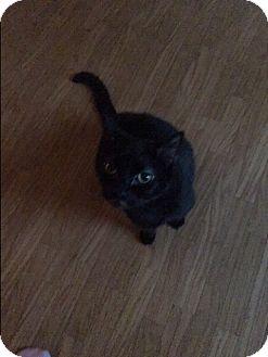 Domestic Shorthair Cat for adoption in Parkton, North Carolina - Tony