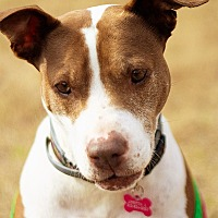 Pit Bull Terrier Mix Dog for adoption in Nashville, Tennessee - Loretta Lynn