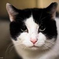 Domestic Shorthair Cat for adoption in Worcester, Massachusetts - Ferdinand