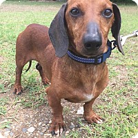 Adopt A Pet :: Dandy Don in Texarkana, TX - Texarkana, TX