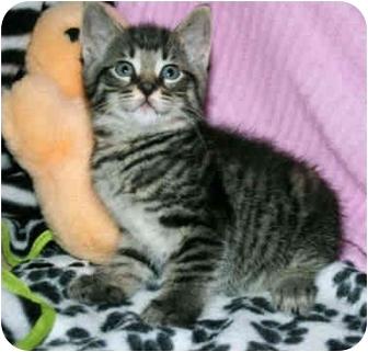 Manx Kitten for adoption in Naples, Florida - Joplin