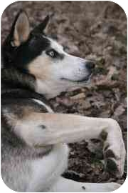 Husky Mix Dog for adoption in Walker, Michigan - Will