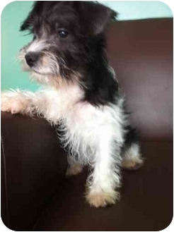 Schnauzer (Miniature)/Poodle (Miniature) Mix Puppy for adoption in Hilliard, Ohio - Mo