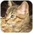 Photo 1 - Domestic Shorthair Kitten for adoption in Davis, California - Louis