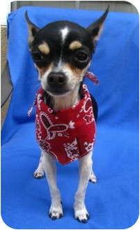 Chihuahua/Rat Terrier Mix Dog for adoption in Irvine, California - Rasin