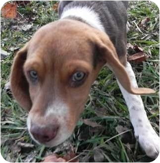 Beagle/Dachshund Mix Puppy for adoption in Allentown, Pennsylvania - Innocent