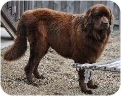 Newfoundland Dog for adoption in Lee's Summit, Missouri - Brownie - Adoption Pending