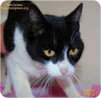 Domestic Shorthair Cat for adoption in Yuba City, California - *Tasha (Unknown Age, URGENT!)