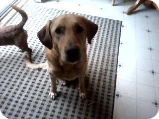Golden Retriever Mix Dog for adoption in Lebanon, Maine - Lucky-URGENT in GA