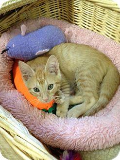 Domestic Shorthair Cat for adoption in Monroe, Georgia - Chico
