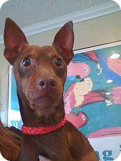 Miniature Pinscher Dog for adoption in Anaheim, California - Patriot