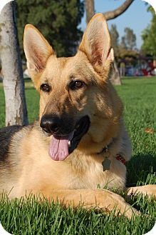 German Shepherd Dog Dog for adoption in Altadena, California - Feather