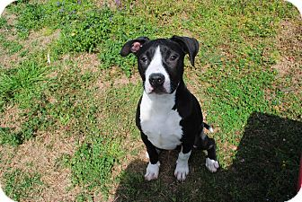 American Pit Bull Terrier Mix Puppy for adoption in Yuba City, California - 03/09 Cooper