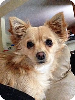 Pomeranian/Chihuahua Mix Dog for adoption in San Marcos, California - Isabella