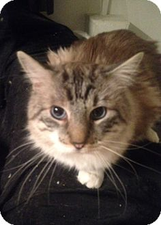 Maine Coon Cat for adoption in Long Beach, New York - A.J.