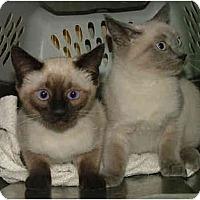 Adopt A Pet :: Sealie - Dallas, TX