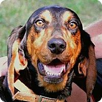 Adopt A Pet :: Lady Bella - Dallas, TX